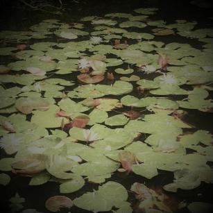 Water lily - infront of Chichu Art Museum where some of Monet's paintings are presented