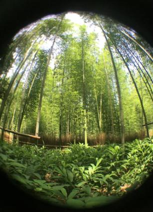 Bamboo Forest ...