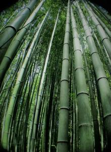 Bamboo Forest - fascinating